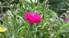 Pinke Kornblume von Susanne