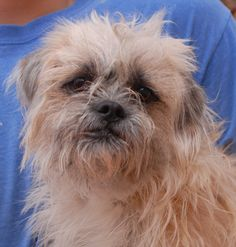 """Solange (""""angel of the sun"""") is a sensitive young boy yearning for peace and stability.  Neighbors saved him when his previous owners moved out and abandoned him.  Solange is a Brussels Griffon and Terrier mix, 1 year of age, now neutered and debuting for adoption today at Nevada SPCA (www.nevadaspca.org).  He is compatible with cats and dogs.  Experienced, adult-only home strongly preferred to help him continue recovering from the trauma of his abandonment."""
