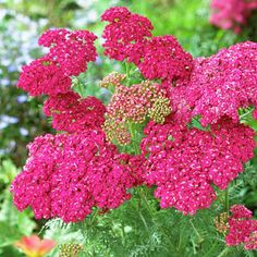 Pink Yarrow Saucy Seduction, Achillea millefolium, Yarrow -- Saucy Seduction's deep, rose-colored blooms are formed on sturdy, compact plants. The bold flowers are long-lasting and sweetly fragrant. Beautiful Flowers, Plants, Achillea Millefolium, Yarrow, Pink Yarrow, Flowers, Yarrow Plant, Flowers Perennials, Flower Garden