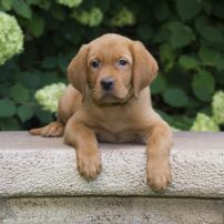 Balsam Branch Kennel Fox Red Lab Puppies For Sale Wisconsin