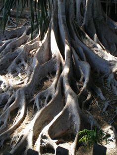 these roots remind me of the antlers on a stag/buck.