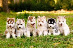 Rainbow of Huskies