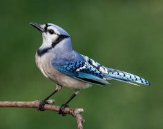 flying blue birds - Yahoo Image Search Results