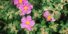 click4crete            : Λάβδανο, το Μύρο της Βίβλου μόνο στις Σίσες Ρεθύμν... Green Flowers, White Flowers, Planting Shrubs, Root System, Deciduous Trees, Types Of Soil, Perennials, Flora, Plants