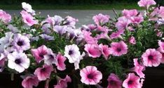 Petunias are beautiful flowering plants and popular annual flowers in American and European gardens Flower Pots, Container Flowers, Flowers, Indoor Flowering Plants, Beautiful Backyards, Petunias, Petunia Flower, Plants, European Garden