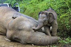People what are we doing!!!   'Great loss': A three-month-old elephant calf attempts to wake its mother; one of ten pygmy elephants found dead in Malaysia's Sabah state poisoned by rainforest workers for Palm Oil companies and Pulp and Paper companies! If you hate to see this then do something about it!!
