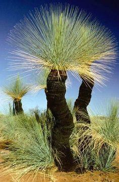 Grass trees, Xanthorrea, Australia::