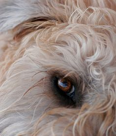 The soul of a wheaten can be seen in its eyes <3