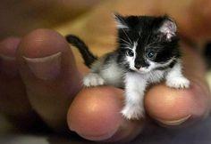 DO BLOG BANANAPOST Pode um gato ser tão minúsculo a ponto de caber na palma da mão?  O pequeno felino, com 5 cm de comprimento, seria certificado pelo Guinness Book.