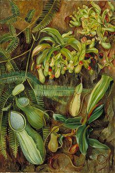 MARIANNE NORTH  Pitcher Plants with Fern behind, Sarawak, Borneo