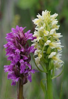 Orchid: Dactylorhiza cruenta [Left] and Dactylorhiza ochroleuca [Right]; Photo by Marco Klueber