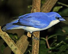 The blue vanga (Cyanolanius madagascarinus) is a bird species in the family Vangidae. It is in the monotypic genus Cyanolanius. It is found in Comoros, Madagascar, and Mayotte, where its natural habitats are subtropical or tropical dry forests and subtropical or tropical moist lowland forests