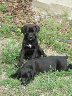 Boxer & Black  Lab Puppies, Gorgeous, Sweet & Adorable!  9 Weeks Old