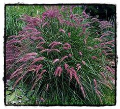 pennisetum orientalis 39 pink 39 herbe aux couvillons roses gramin es massif et arbuste. Black Bedroom Furniture Sets. Home Design Ideas