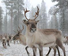 Poro (Lappi, Rovaniemi)