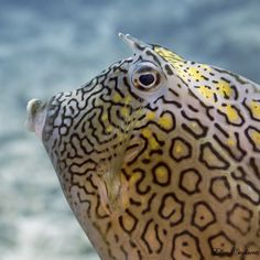 A Sunday kiss from a Cowfish;-) by Ellen Cuylaerts on 500px
