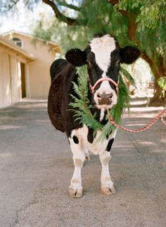 What? You don't decorate your cattle?