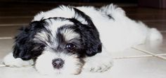 Havanese - Very smart and trainable, loves people, good for allergies, and an overall great family dog