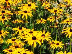 Black Eyed Susan's, a sea of yellow