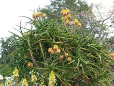 Aloidendron tongaensis (Tonga Tree Aloe) is a fork-branched, succulent tree, up to 26 feet (8 m) high and about the same width, with a...