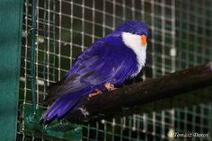 Blue Lorikeet - Vini Peruviana, from: French Polynesia & Cook Islands