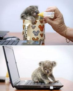 A baby koala. Is it just me or does someone else want a koala bear too!!