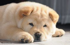 Cream Chow Chow Puppies - Resimkoy