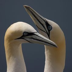 Gannets courting on the Bass Rock.