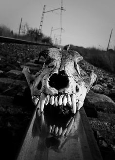 Animal skull on the railway.