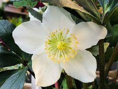 Rose de Noël #Helleborus #fleur http://www.pariscotejardin.fr/2017/12/rose-de-noel/