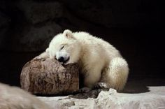 Polar Bear Nap by Guinness Wench. Babys will sleep anywhere. Sweet !!