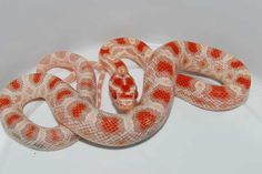 High-White Reverse Okeetee Cool Snakes, Reptiles And Amphibians, Pets, Animales