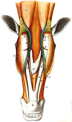 Superficial structures of the head of horse, lateral view.