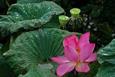 Lotus.   Wonderful Beauty From China - Good News Planet