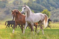 Grey and Chestnut Horse. The Grey Arabian looks just like my Rex, so beautiful.....I miss him!