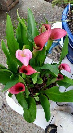 Calla Lillies, Calla Lily, Natural, Planting Flowers, Beautiful Flowers, Plants, Beauty, Calla Lilies, Colors