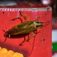 Your quick guide to preventing American #cockroaches