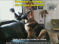 German Shepherd  protecting his family's  house.  Delight in more GSD  pictures and other amazing facts  right here!