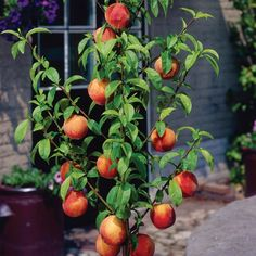 Dwarf Peach Tree. One of the top 5 Low Maintenance Fruit Trees for Urban Backyards