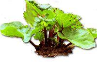 Guia para o uso e cultivo do ruibarbo Everything You Ever Wanted to Know About Rhubarb Rhubarb Wine, Rhubarb Bread, Rhubarb Cobbler, Rhubarb Plants, Rhubarb Sauce, Rhubarb Pudding, Growing Rhubarb, Gardens, Backyard Farming