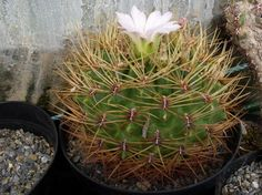 gymnocalycium monvillei - ssp monvillei