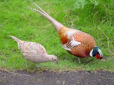 Female (left) and male (right) common pheasant, illustrating the dramatic difference in both color and size between sexes. Photo Credit: ChrisO