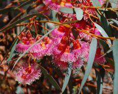 Pinkfarbener-Eucalyptus-Eucalyptus-torquata-20-Samen-seeds-Eukalyptus-Coral-Gum