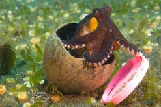 Coconut octopus is one of the few cephalopods that is known to exhibit the behaviour of tool-use Coconut Octopus, Octopus Pictures, Octopus Art, List Of Animals, Rare Birds, Extinct Animals, Used Tools, Sea And Ocean, Tentacle