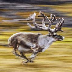 A reindeer runs across the summer landscape in Svalbard, Norway.
