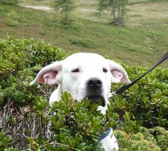 This is my Grandmas dog, Isy. She was hiding in a bush because she did not want to hike anymore!