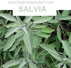 SALVIA Salvia, Orisha, Plant Leaves, Spirituality, Plants, Science, Free Shipping, Usa, Interior