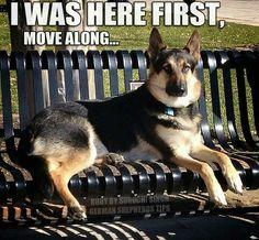 this seat is taken #german #shepherd #dog
