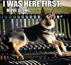 this seat is taken #german #shepherd #dog
