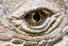 dragon eye: Komodo dragon eye